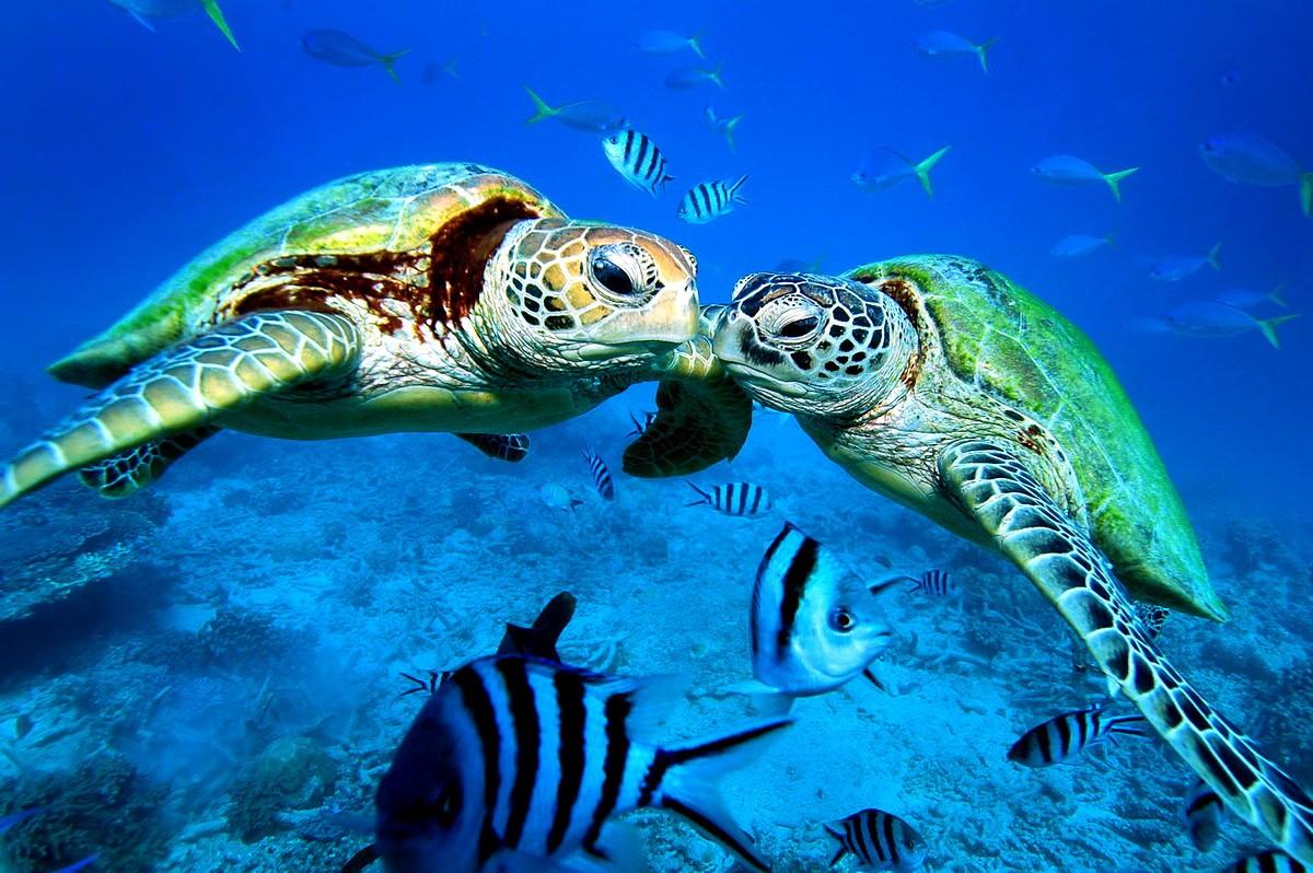 Careta Careta sea turtles